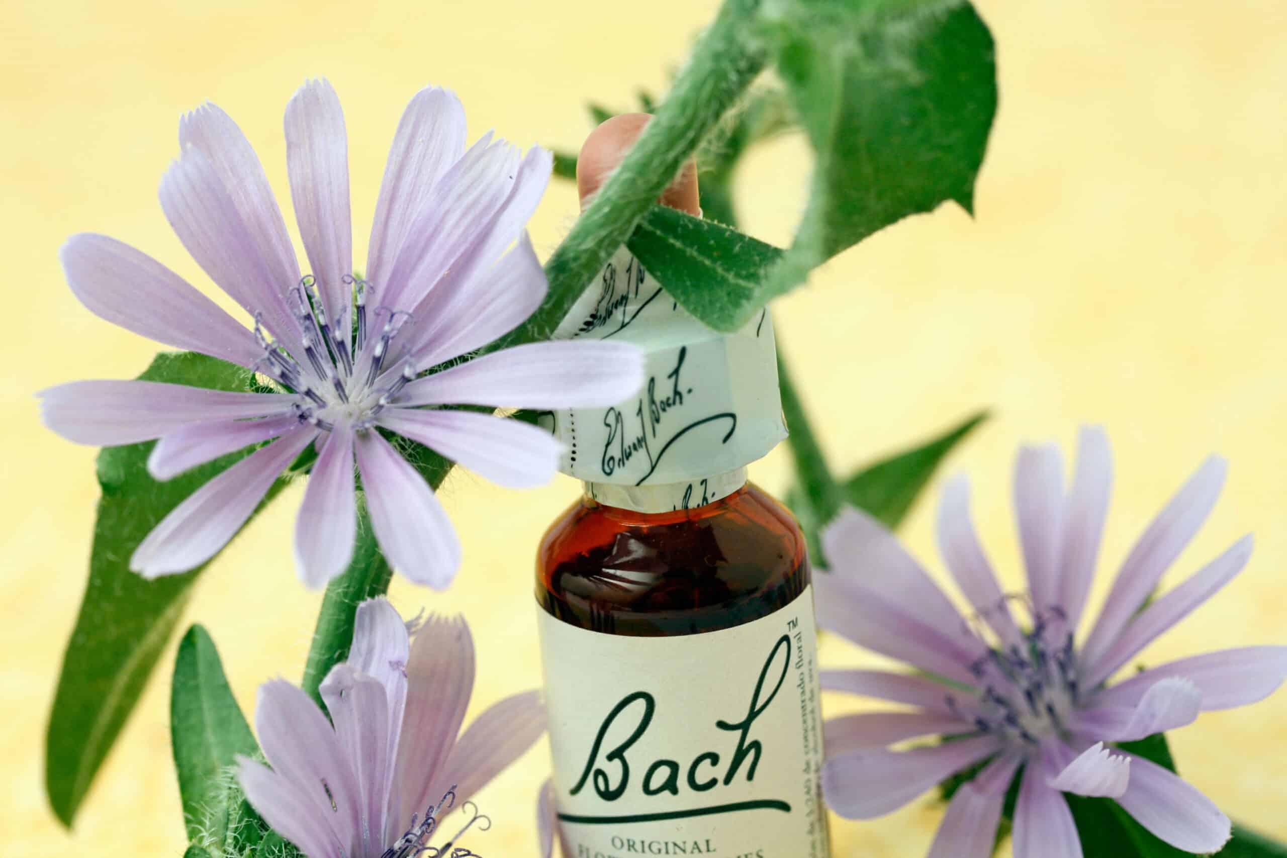 chicory fleurs de Bach cichorium intybus